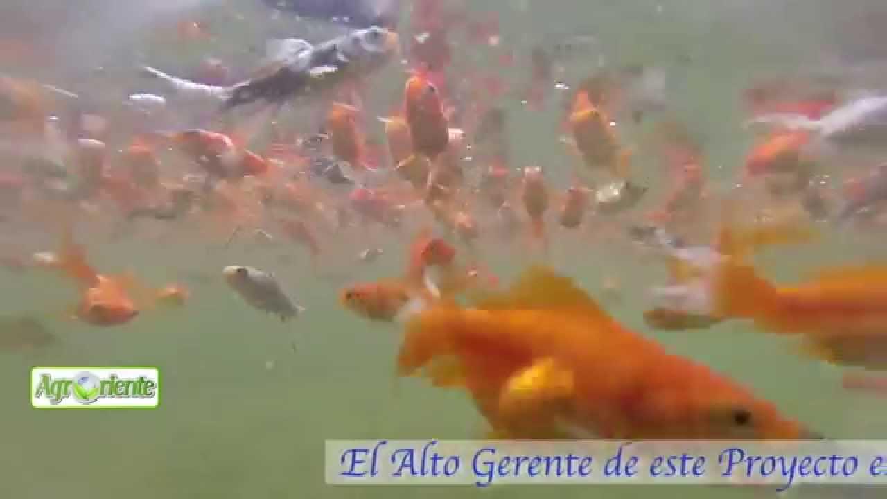 Agroriente peces ornamentales youtube for Peces ornamentales
