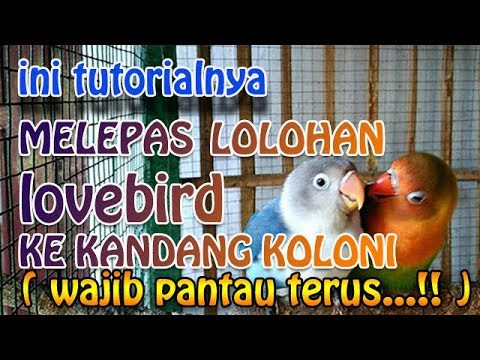 HOW TO SEPARATE THE LOVEBIRD OF LOLOHAN TO COLONIZE