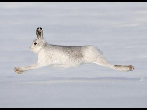 Зайцы бегут, погоня на снегоходе