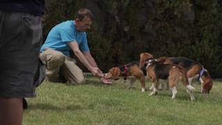 Beagle Freedom Project Viva Las Vegas Rescue