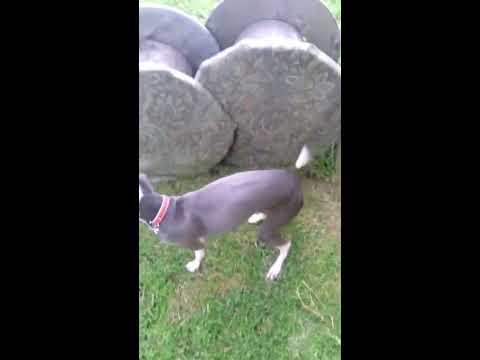 Italian Greyhound - Dog can't jump