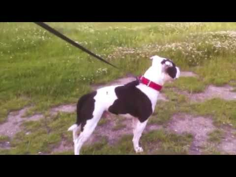 Riskys Crackerjack Boy (Kye) Riskys Staffordshire Bull Terriers Official Video Archives.