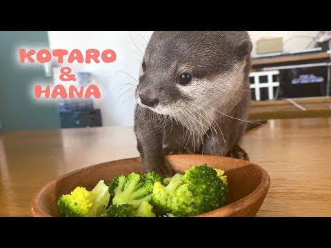 カワウソコタローとハナ お尻をぽりぽりするコタロー Otter Kotaro&Hana Lazy Kotaro Scratching Butt from YouTube · Duration:  3 minutes 17 seconds