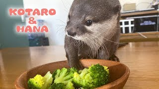 カワウソコタローとハナ 今日のおかずはブロッコリー Otter Kotaro&Hana Try Broccoli For The First Time
