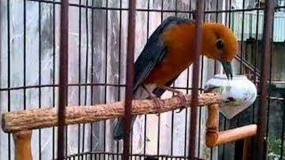 Cara Merawat Burung Anis Merah Agar Ngeplong Tanpa Voer
