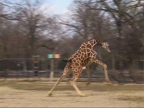 Giraffes Stretch Their Legs Embracing Warm Temps