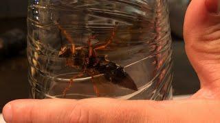 The Horrifically Massive Cicada Killer Wasp