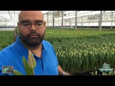JFTV: Dutch Tulips Farm Process with the Fern