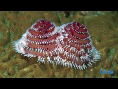 Christmas tree worms look festive, year round!