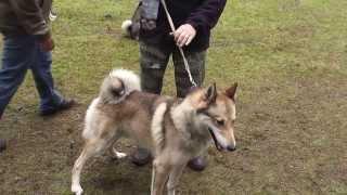 64 я Кировская выставка охотничьих собак  Ринг ЗСЛ кобели старшая возрастная группа 6