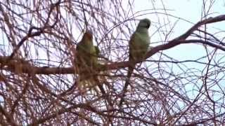 Rose-ringed Parakeets mating / Halsbandparkieten Paren (Psittacula krameri)