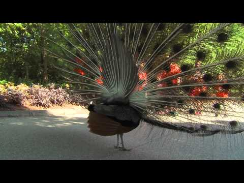 Peacocks - Cincinnati Zoo