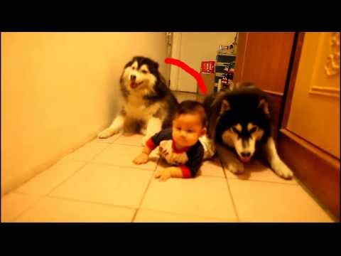 Dogs Imitate Baby's Crawl, Don't Realize They're Dogs | HuffPost Life