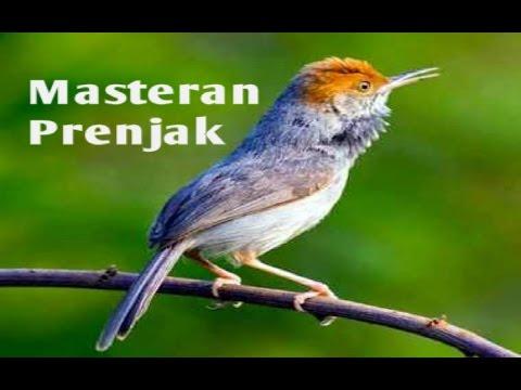 Free Download 30 Menit Masteran Burung Prenjak Kepala Merah Mp3 dan Mp4