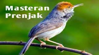 30 Menit Masteran Burung Prenjak Kepala Merah