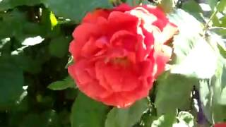 Садовая традесканция и большой куст розы.
