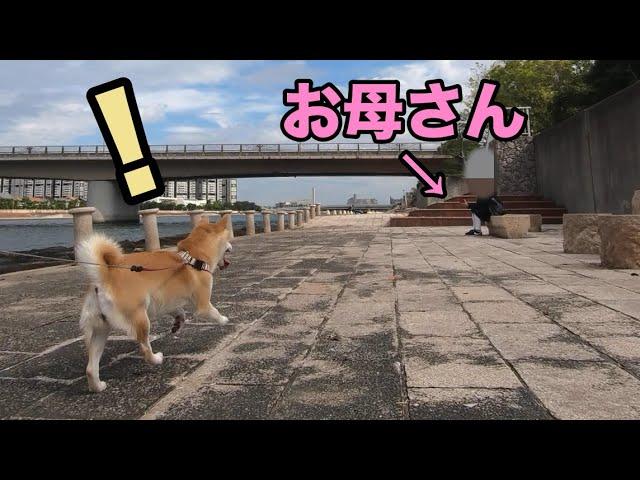 柴犬小春 【サプライズ】散歩でお母さんを見つけたら大喜び!