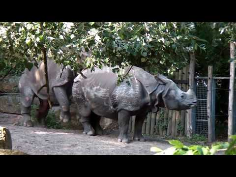 Mating Indian rhino's loving each other @ Diergaarde Blijdorp - Rotterdam Zoo