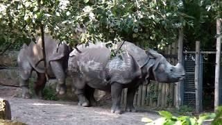 Repeat youtube video Mating indian rhinoceros at Diergaarde Blijdorp - Rotterdam Zoo