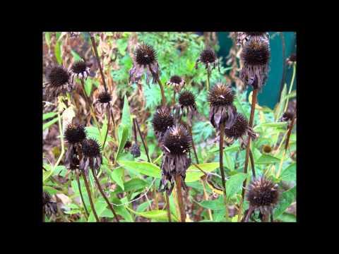 Alice Wonders-DEAD FLOWERS