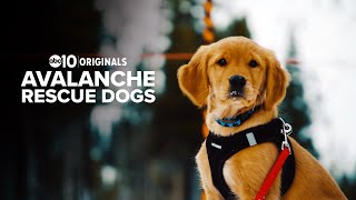 Avalanche rescue dogs keep skiers safe at Tahoe-area California resort | ABC10 Originals
