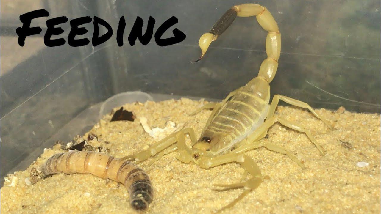 Buthidae Scorpions