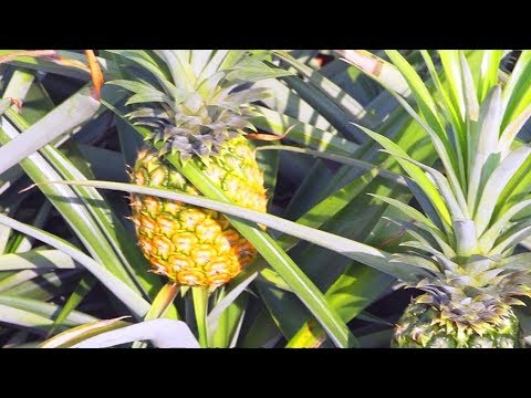 香港原味道3 | 元朗尋找菠蘿園 自家都可以種菠蘿 - YouTube