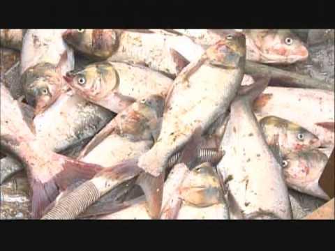 Asian carp wabash
