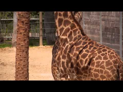 Thumbnail: All About Giraffes!