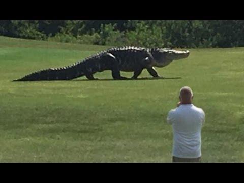 Giant Alligator Walking Across Golf Course in Florida