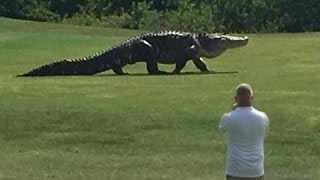Giant Alligator Walking Across Golf Course in Florida