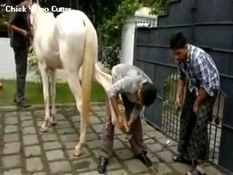 Cochin horse-Nishad Puzhithara-Shoeing his mare
