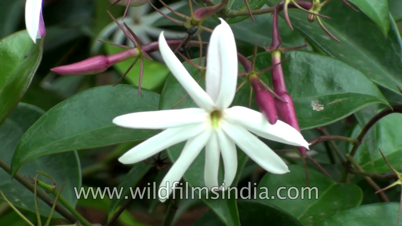Jasminum Nitdum Or Star Jasmine Or Angelwing Jasmine A Flowering