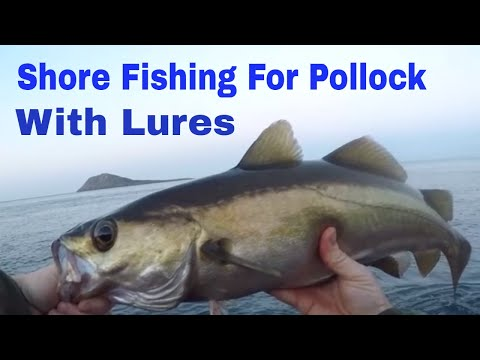 Shore Fishing For Pollock With Lures In Wales 2018