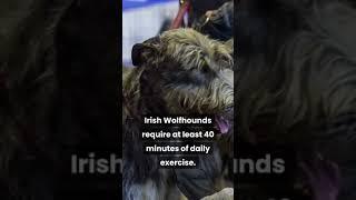 Irish Wolfhounds Facts