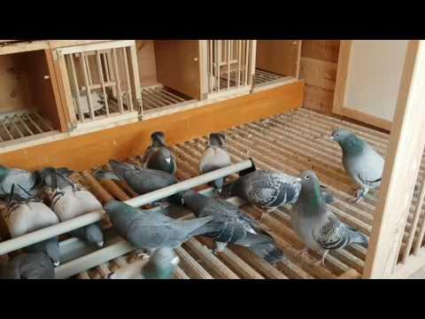 Lewy gołębie Ostróda