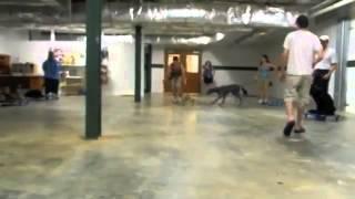 Maryland Dog Training   Frenchie Sitting In Motion
