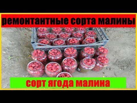 ремонтантные сорта малины || сорт ягода малина
