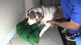 Part 3: HOW TO stop your Dog From Itching Scratching. Fungal Yeast Candida skin infection