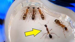 Новый Формикарий для Садовых Муравьев! Муравей без лапок! Не злые Африканские муравьи! alex boyko