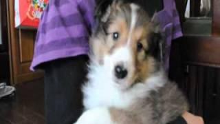 10年11月生まれのシェルティー男の子です。http://www.sheru.biz/shebur...
