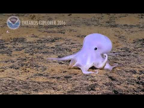 NEW Octopus Species: 2016 Hohonu Moana: Exploring Deep Waters