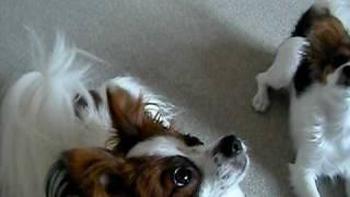 2頭同時にしつけをしているも、先住犬が出来なくなっている動画。 http...
