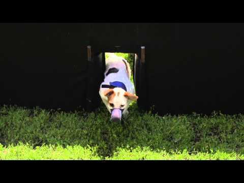 Jack Russel Hurdles Final Heat - Incredible Dog Challenge 2015 Boston, MA