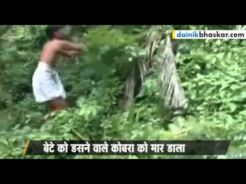 Shocking ! Father Takes Revenge of Son by Killing King Cobra || Caught On Camera