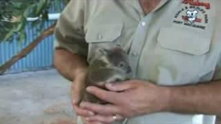 Repeat youtube video Baby Koala - FocusTV