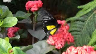 Troides rhadamantus крупная Желото-Черная бабочка из Филиппин