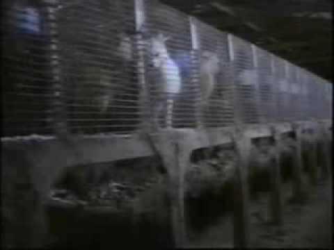 """PRENDIAMO COSCIENZA!!! – """"EARTHLINGS"""" – sottotitoli in italiano – parte 7/11 (VESTITI).flv"""