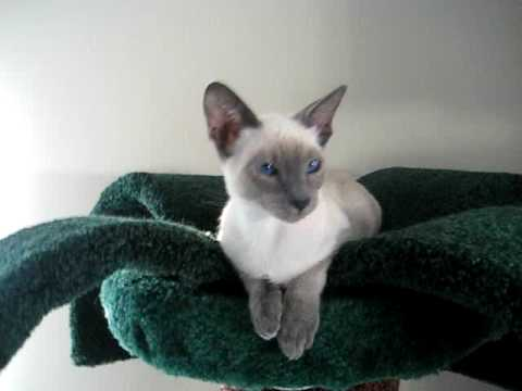 The cutest Siamese cat in the world!