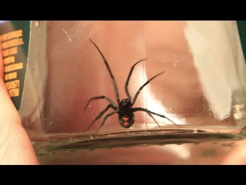 Poisonous Spider Picked Up In Red Deer Superstore